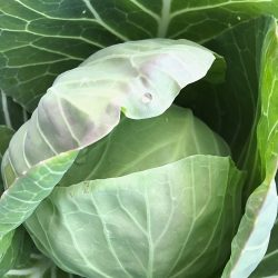 Organic Spring Cabbage (pc)