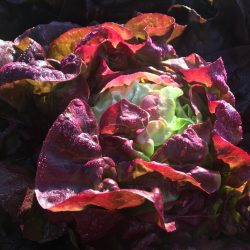 Organic Curly Lettuce - mixed colours (pc)