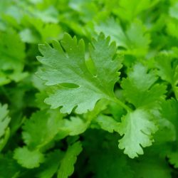 Organic parsley leaf  (pc)