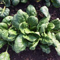 Organic Spinach - baby leaf (250g)