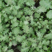 Organic Curly Red Russian Kale (bun)
