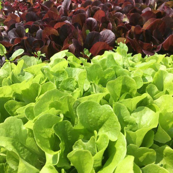 Organic Cocarde Lettuce (pc)