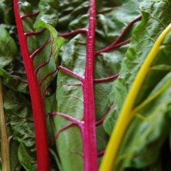 Organic Swiss Chard - mixed (300g)