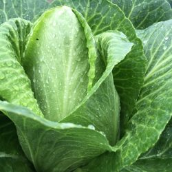 Organic Hispi Cabbage (pc)