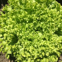 Organic Lollo Lettuce (pc)